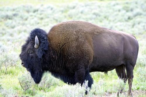 Buffalo by pgarwood