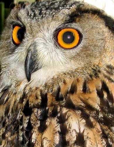 Eagle Owl by Les_Cornwell