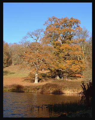 Autumn Oaks by naturenut