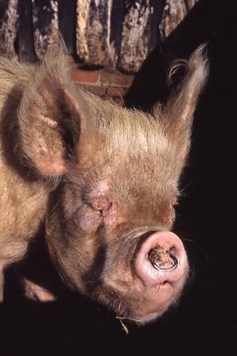 Mrs Piggy by saxon_image