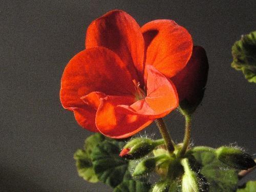 October Geranium by ellis rowell