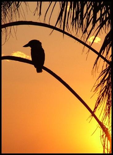 Kookaburra Sunset by pea