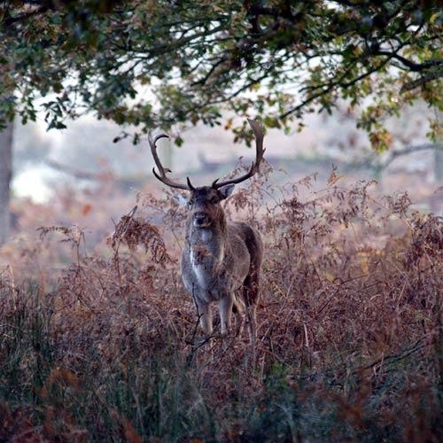 Deer by goatster