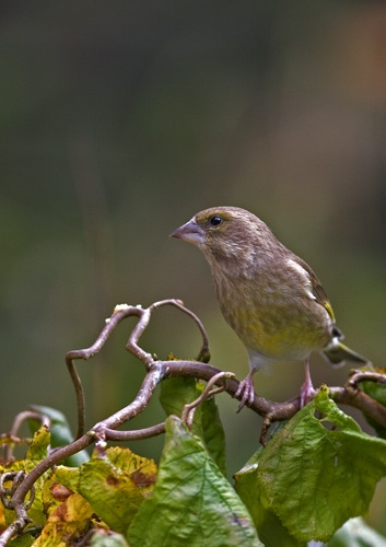 Greenfinch by goatster