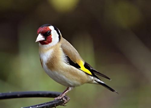 Goldfinch by da_nige