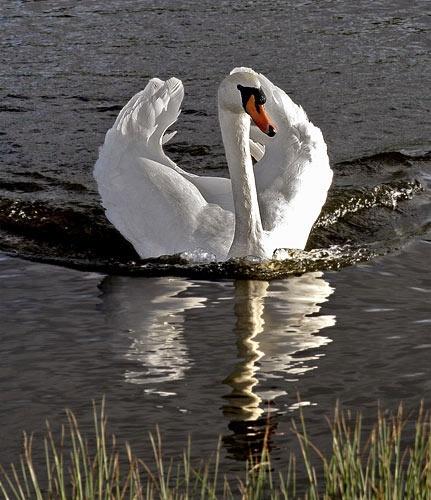 * Swan I I * by AdrianTurner