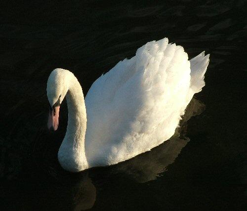 Swan lake by carriebugg