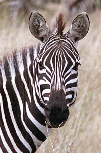 Another Zebra Shot by Dennis.Alden