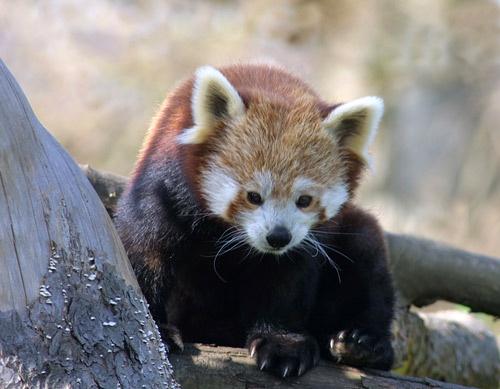 Red Panda by trudi