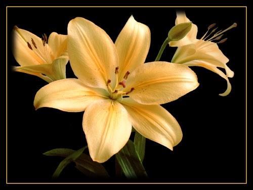 Lily by Stevo