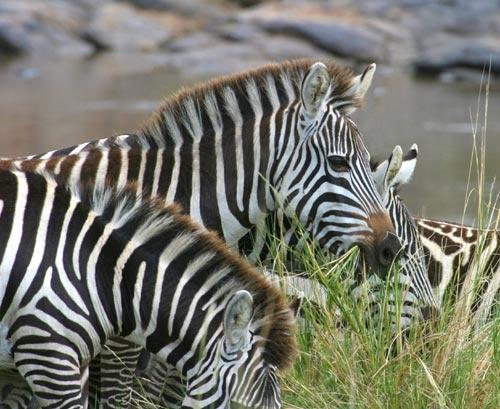Zebras by tully