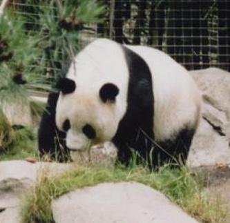 Panda by kaybeeminimetwo