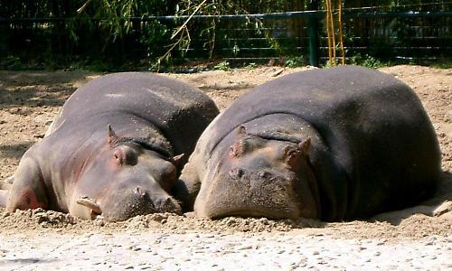 Sleepy Hippos by bethcole