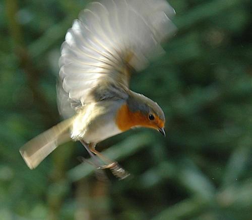 Robin in flight by phiggy