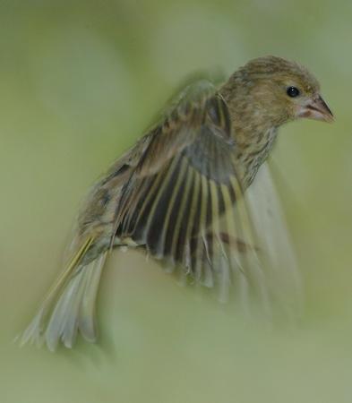 Greenfinch in flight by phiggy