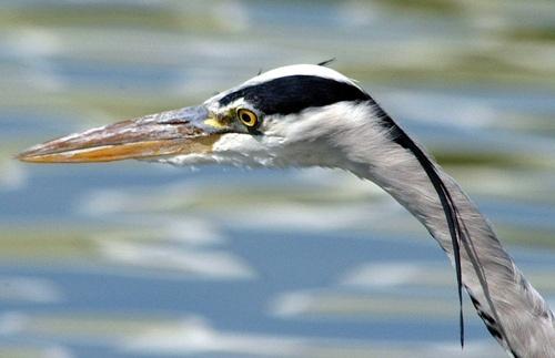 Grey Heron by phiggy