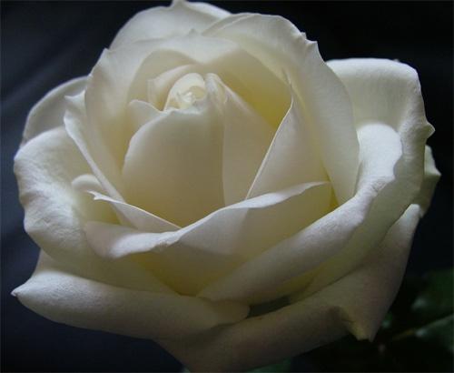 the rose by jsabmsc