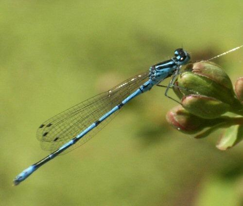 damsel fly by beeapi
