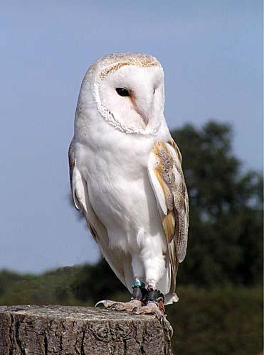 barn owl by Paulean