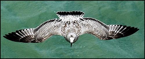 Immature Herring Gull by mike
