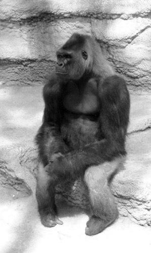 Grumpy Gorilla by bethcole
