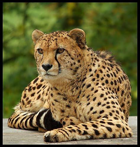 Cheetah by Miles Herbert