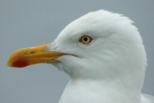 Herring Gull by davefolky