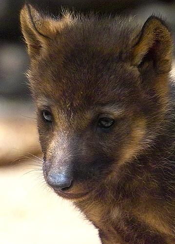 Wolf Cub by IanA