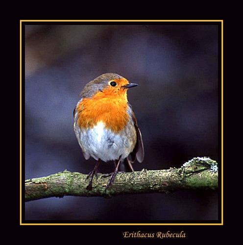 Rockin\' Robin by novocastria