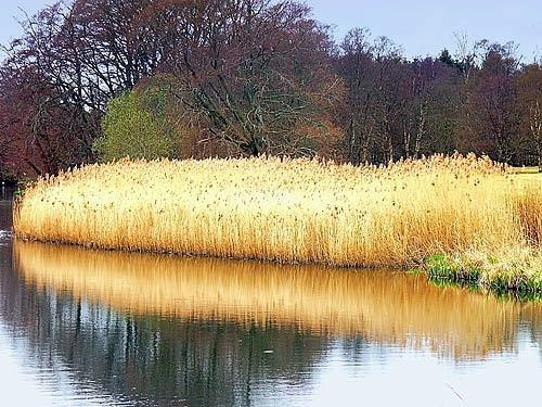 Reeds by Caryl