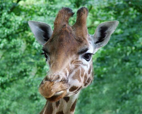 Giraffe by DavidJHolmes