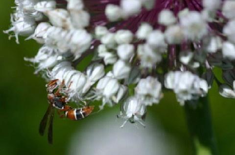 wasp by Ansie