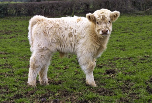 Reare Highland bull calf by Rob Freem