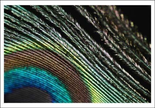 Peacockfeather by sferguk