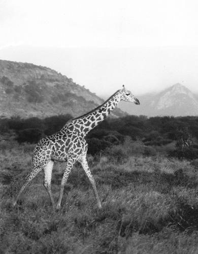 Giraffe Running by imjam