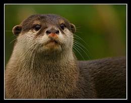 Otter vi