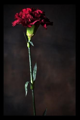 red carnation by kelart