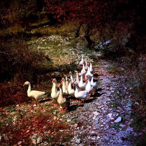 Geese by tudor