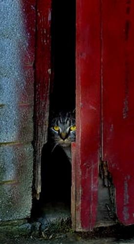 Barnyard Cat by drlesser