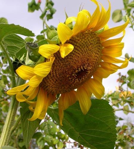 Sun flower by NorahF