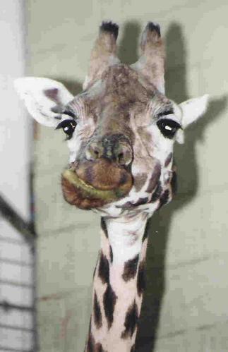 Baby Giraffe by NikonMan