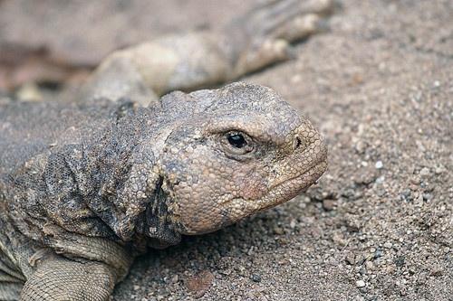 Lizard by gipperdog