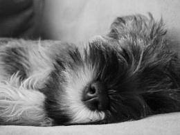 Baby puppy sleeping