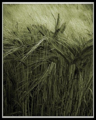 Field of Barley by Steve Cribbin