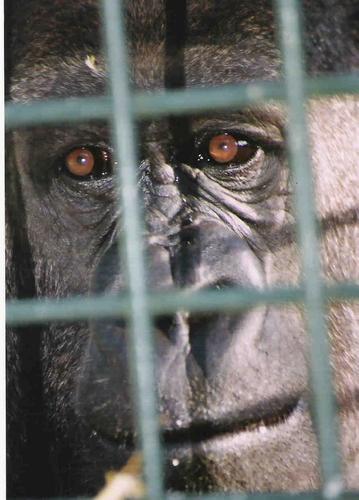 Gorilla by NikonMan