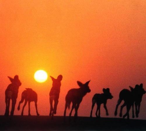 Dawn Dogs