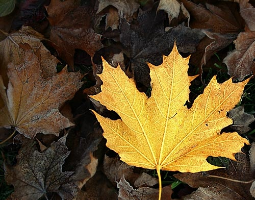 Yellow Leaf by KathyW