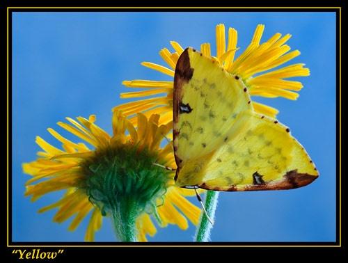 Brimstone Moth by justin c