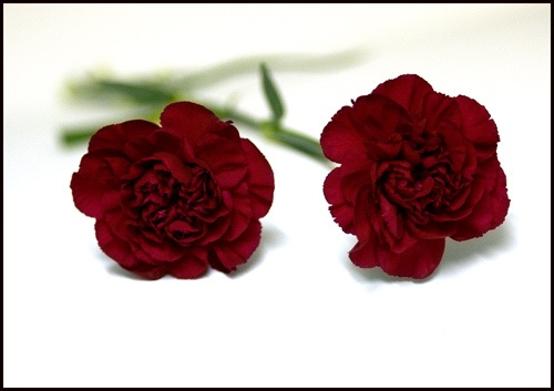 Red Carnations by goatster