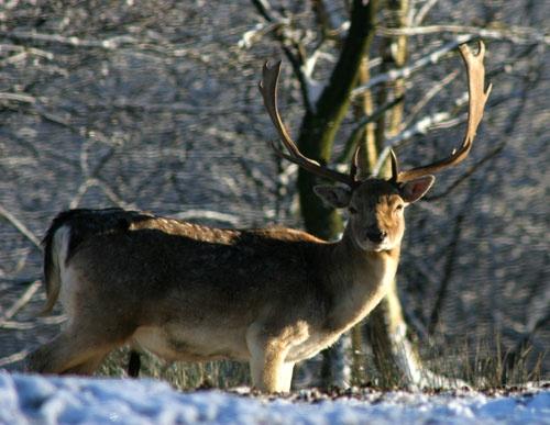 Deer by samstan